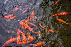 明亮的红色Koi鱼在开阔水域的一条开放池塘,红色,白色和橙色鱼游泳 免版税库存照片