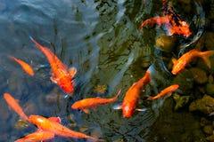 明亮的红色Koi鱼在开阔水域的一条开放池塘,红色,白色和橙色鱼游泳 库存图片