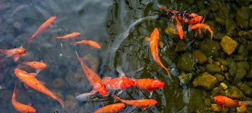 明亮的红色Koi鱼在开阔水域的一条开放池塘,红色,白色和橙色鱼游泳 免版税库存图片