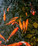 明亮的红色Koi鱼在开阔水域的一条开放池塘,红色,白色和橙色鱼游泳 图库摄影