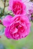 明亮的美丽的桃红色玫瑰 库存图片