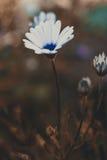 明亮的美丽的白花Anemos 抽象背景黑暗 空间在拷贝的,文本,您的词背景中 免版税库存照片