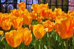 明亮的美丽的黄色&橙色郁金香!!! 图库摄影