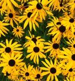 明亮的美好的花向日葵背景或纹理 库存图片