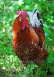 明亮的色的公鸡 免版税库存照片