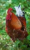 明亮的色的公鸡 免版税库存图片