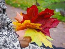 明亮的色的秋天槭树在妇女的手离开 槭树叶子在手上 翠菊许多秋天的紫红色心情粉红色 图库摄影