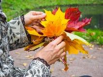 明亮的色的秋天槭树在妇女的手离开 槭树叶子在手上 翠菊许多秋天的紫红色心情粉红色 库存照片