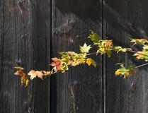 明亮的色的秋天槭树离开反对老灰色谷仓木头 免版税库存图片