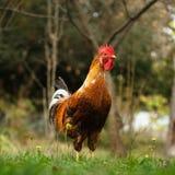 明亮的色的雄鸡 图库摄影