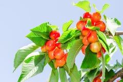 明亮的色的更加多雨的白色樱桃莓果 免版税库存照片