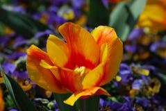 明亮的色的黄色和红色镶边郁金香开花 免版税库存图片