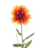 明亮的花天人菊属植物 免版税图库摄影