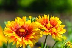 明亮的花天人菊属植物 库存照片
