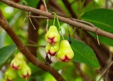 明亮的花束首先是充分的绿色苹果,等待时间成熟红色开胃 免版税库存图片