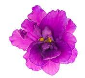 明亮的花查出的淡紫色唯一紫罗兰 库存照片