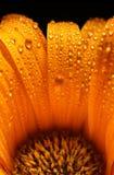 明亮的花桔子 免版税库存照片
