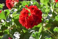 明亮的花红色 库存照片