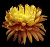 明亮的花菊花,黄色中心 黑背景隔绝与裁减路线 特写镜头 没有阴影 免版税库存图片