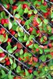 明亮的萸肉莓果 图库摄影