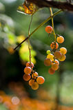 明亮的葡萄 免版税库存图片