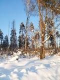 明亮的蓝天和树在欢乐雪穿戴在早晨阳光下 库存图片