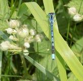 明亮的蓝色公蜻蜓 图库摄影