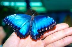 明亮的蓝色大蝴蝶传播它的翼坐在青灰色背景的一棵人的人开放棕榈 库存照片