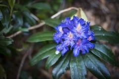 明亮的蓝色植物5月 免版税库存图片