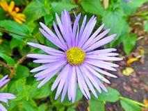 明亮的蓝色芳香翠菊花在春天 免版税库存图片