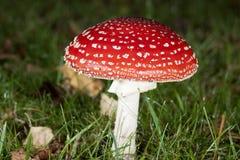 明亮的蘑菇红色 库存照片