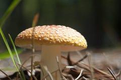 明亮的蘑菇 免版税图库摄影