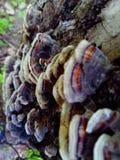 明亮的蘑菇` Trametes杂色` 免版税库存照片