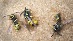 明亮的表面上的一些只死的蜂 疲劳,坚苦工作的概念 库存图片