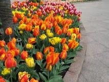 明亮的郁金香在花床上,环境美化 免版税库存照片