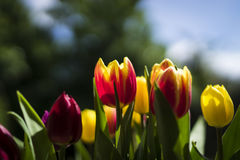 明亮的郁金香在5月 免版税库存照片