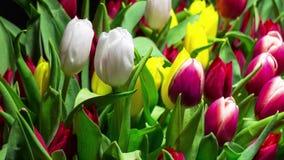 明亮的郁金香绽放花束 股票视频