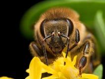 明亮的金黄蜜蜂从黄色花提取花粉 免版税库存图片
