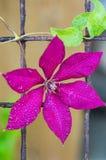 明亮的铁线莲属花 倒挂金钟的颜色 特写镜头 免版税库存图片