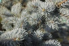 明亮的阳光点燃的蓝色云杉的分支 库存照片