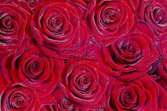 明亮的露水许多红色玫瑰 库存照片