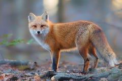 明亮的面孔在森林里 免版税库存图片