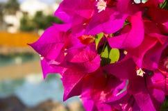 明亮的颜色开花的九重葛  免版税库存照片