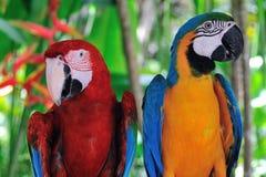 明亮的鹦鹉夫妇  库存照片