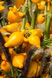 明亮的黄色可爱的装饰果子 `茄属mammosum `,与果子` s相似的末端结尾对一个人的乳房的,当时 库存图片