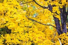 明亮的黄色叶子和槭树的黑暗的分支 库存照片