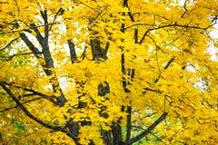 明亮的黄色叶子和槭树的黑暗的分支 免版税库存照片