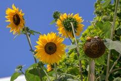 明亮的黄色向日葵和蓝天 库存照片