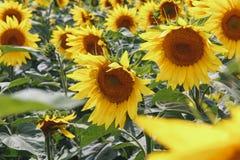 明亮的黄色向日葵花田 美好的农村风景在晴朗的夏日 免版税库存图片