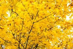 明亮的黄色和金黄槭树叶子 免版税库存照片